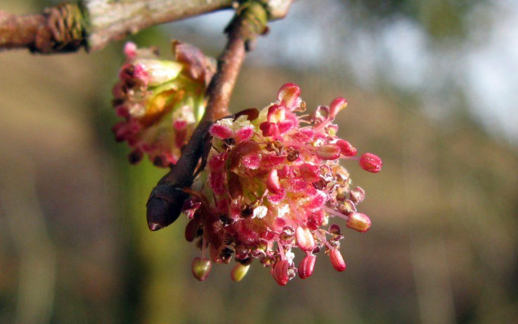 Elm - Naturopatia Olistica